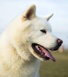 Portrait od white Akita Inu dog. Lying on grass Stock Photo