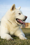 Portrait od white Akita Inu dog Royalty Free Stock Photography