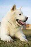 Portrait od white Akita Inu dog. Photo of pure white Akita Inu dog lying on grass Royalty Free Stock Photography