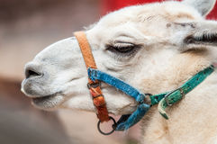 Portrait odf a lama Royalty Free Stock Photo