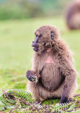Portrait Of A Baboon Royalty Free Stock Photography