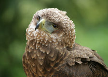 Portrait Of A Bateleur Eagle Stock Photo