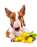 Portrait Of A Bull Terrier With Tulips. Royalty Free Stock Image