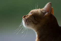 Free Portrait Of A Cat Royalty Free Stock Photography - 98057867
