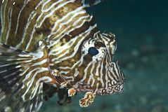 Portrait Of A Common Lionfish. Stock Photography
