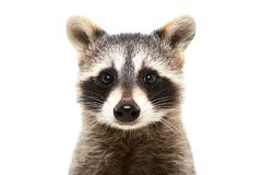 Free Portrait Of A Cute Funny Raccoon Royalty Free Stock Image - 104393916