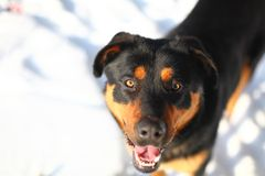Portrait Of A Cute Rottweiler Stock Photography
