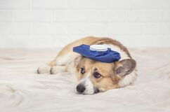 Free Portrait Of A Cute Sick Puppy Red Dog Corgi Is Lying On A White Blanket With A Hot Water Bottle On His Head And Sad Eyes Stock Photography - 169597352