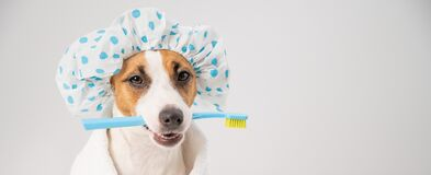 Free Portrait Of A Dog Jack Russell Terrier In A Shower Cap And A Towel Holding A Toothbrush In His Mouth On A White Royalty Free Stock Images - 215424759