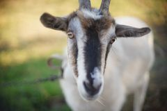 Free Portrait Of A Domestic Goat, Face Close-up. Grazing Farm Animals In Nature Stock Photo - 161588480