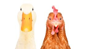 Free Portrait Of A Duck And Chicken Stock Image - 173813311
