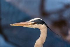 Free Portrait Of A Great Blue Heron Or Ardea Herodias Against Blue B Stock Photography - 161595992