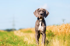Portrait Of A Great Dane Puppy On A Country Path Royalty Free Stock Photos
