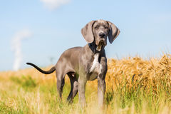 Portrait Of A Great Dane Puppy On A Country Path Royalty Free Stock Photography