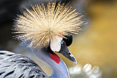 Portrait Of A Grey Crowned Crane (Balearica Regulorum) Stock Photography