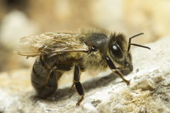 Portrait Of A Honey Bee Stock Image