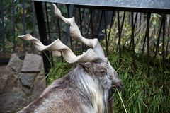 Free Portrait Of A Horned Goat, The Markhor, Eating The Green Grass In The Trough. Wildlife, Mammals Stock Images - 160479094
