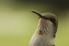 Portrait Of A Hummingbird Royalty Free Stock Photos