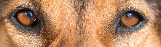 Free Portrait Of A Hunting Dog - Beautiful Symmetry Of The Face, Focu Stock Image - 91211901
