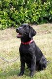 Portrait Of A Labrador Puppy Stock Photo