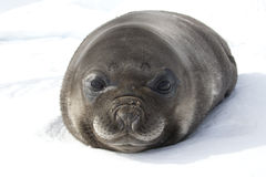 Portrait Of A Little Puppy Southern Elephant Seal Lying In The S Royalty Free Stock Image