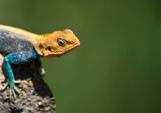 Portrait Of A Male Agama Royalty Free Stock Photo
