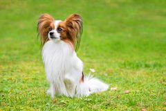 Free Portrait Of A Papillon Purebreed Dog Royalty Free Stock Photography - 153827087