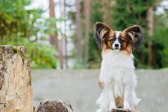 Free Portrait Of A Papillon Purebreed Dog Stock Photos - 162930013
