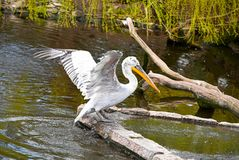 Free Portrait Of A Pelican In A Swamp Stock Image - 156799541