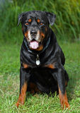 Portrait Of A Rottweiler Royalty Free Stock Images