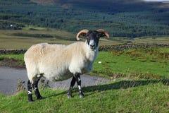 Portrait Of A Scottish Blackface Sheep, Quirain, Isle Of Skye, S Stock Photos