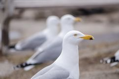 Free Portrait Of A Seagull In Maine Stock Image - 128529541