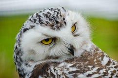 Free Portrait Of A Shy Snowy Owl Bubo Scandiacus Royalty Free Stock Image - 146704356