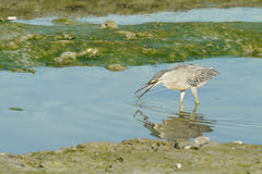 Free Portrait Of A Striated Heron Stock Photos - 67580423