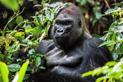 Free Portrait Of A Western Lowland Gorilla (Gorilla Gorilla Gorilla) Close Up At A Short Distance. Silverback - Adult Male Of A Gorilla Royalty Free Stock Photo - 64085545