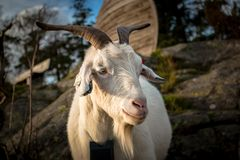 Portrait Of A White Farm Goat Stock Image