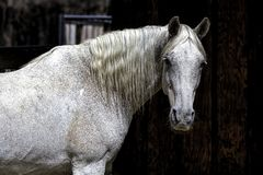 Free Portrait Of A White Horse Stock Photography - 153060512
