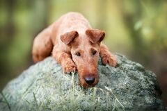 Free Portrait Of A Young Irish Terrier. Lies And Sad Royalty Free Stock Images - 203264819