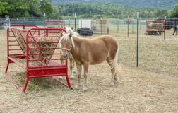 Free Portrait Of A Young Pony Outside At A Petting Zoo Stock Photos - 156251333