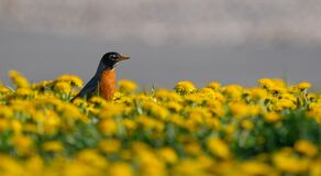 Free Portrait Of American Robin, Turdus Migratorius In Dandelion Meadow Stock Photos - 183966823