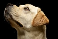 Free Portrait Of An Adorable Labrador Retriever Stock Photos - 100254363