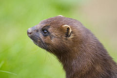 Portrait Of An American Mink Royalty Free Stock Photo