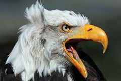Portrait Of An Angry American Bald Eagle Stock Image
