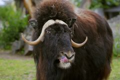 Free Portrait Of An Angry Musk Ox With Big Horns Royalty Free Stock Photography - 117102357