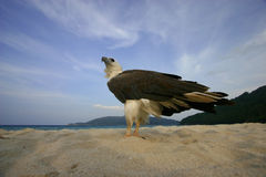 Free Portrait Of An Eagle Royalty Free Stock Images - 204859