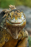 Portrait Of An Iguana Royalty Free Stock Photography