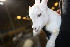 Portrait Of Baby Goat Stock Image