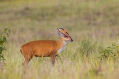 Portrait Of Barking Deer Stock Photo