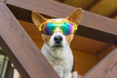 Free Portrait Of Basenji Dog In Chameleon Sunglasses Stock Photo - 122132350