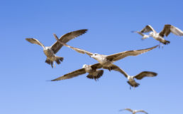 Free Portrait Of Birds Flying Against The Blue Sky. Royalty Free Stock Photos - 70056498